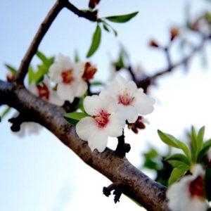 """""""Vedo un ramo di mandorlo in fiore"""""""